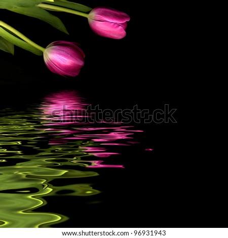 tulip on black background - stock photo