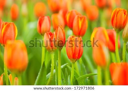 Tulip orange  - stock photo