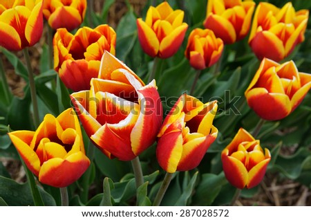 Tulip orange red close-up / Tulip field , orange red fresh and beautiful / Flowers background / Macro flower - stock photo