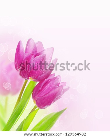 Tulip pink flowers, floral spring  background - stock photo