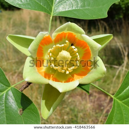 Tulip tree flower in Mississippi - stock photo
