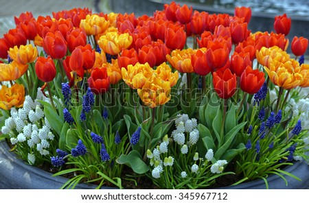 Tulips and Grape Hyacinth (Muscari) arrangement at the annual Keukenhof Gardens spectacle near Amsterdam, the Netherlands