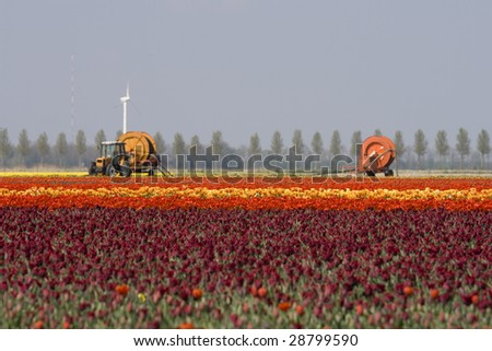 Tulips and machines fror harvesting in Holland