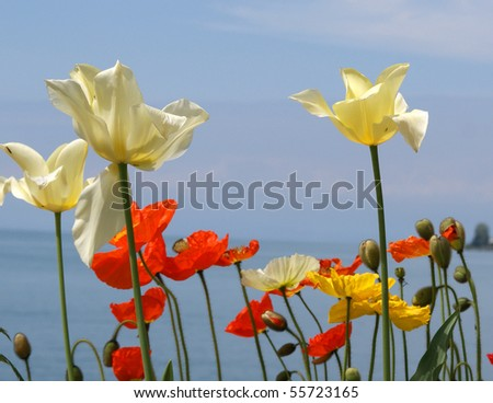 Tulips and poppies on a background of sky, lake and mountains. Switzerland, Montreux, Lake Geneva, Alps