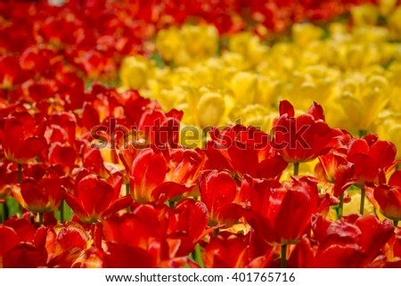 Tulips Festival in Ottawa during spring season - stock photo