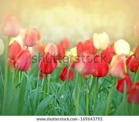 Tulips - Flower garden of tulips - stock photo