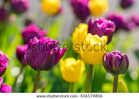 Tulips flowerbed background. Purple, violet, yellow tulips closeup macro photography. Contrast, vivid, colorful nature background. Spring time flower blossoming, blooming. Sunny tulips spring garden - stock photo