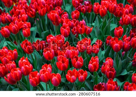 tulips flowers in green grass close up