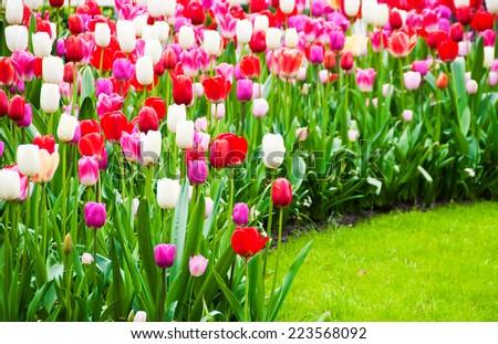 Tulips flowers in Keukenhof garden, Netherlands - stock photo