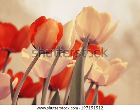 Tulips flowers with retro filter effect. Vintage floral background.  - stock photo