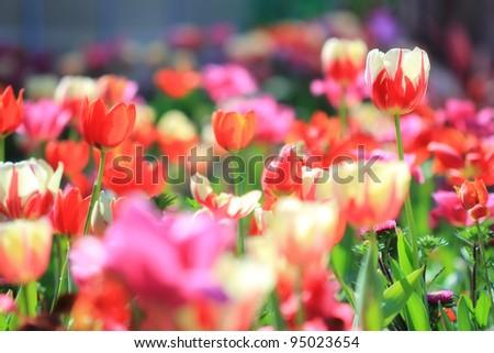 Tulips garden soft focus - stock photo