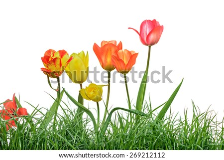 tulips garden with grass, isolated on white background - stock photo