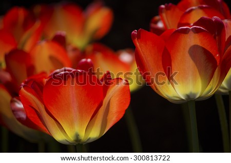 Tulips glowing at night (in the darkness) - stock photo