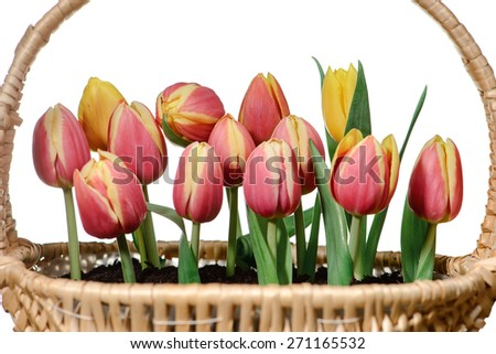 Tulips in basket,isolated on white background.