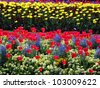 Tulips in bloom - stock photo