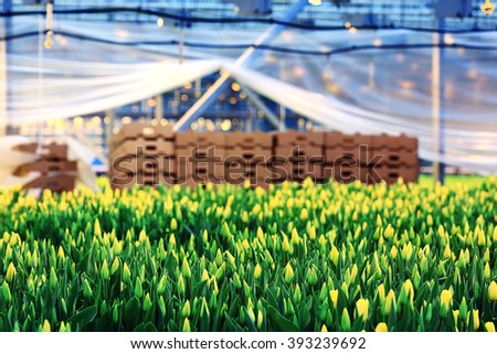 Tulips in boxes of flowers spring agriculture - stock photo
