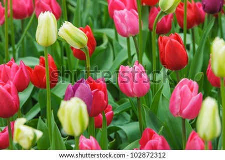 Tulips in different colors - stock photo