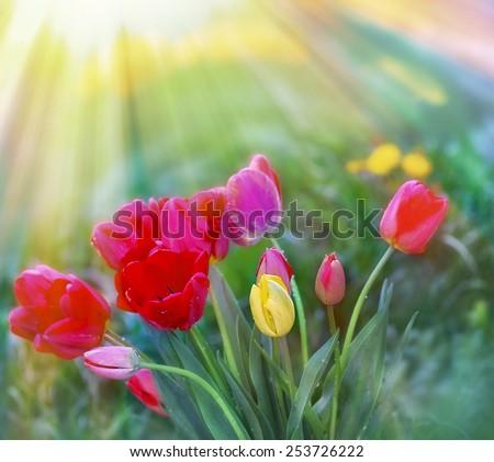 Tulips in flower garden lit by sun rays  - stock photo