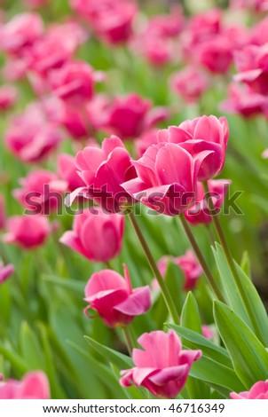 Tulips in flower garden with pink and green color. - stock photo