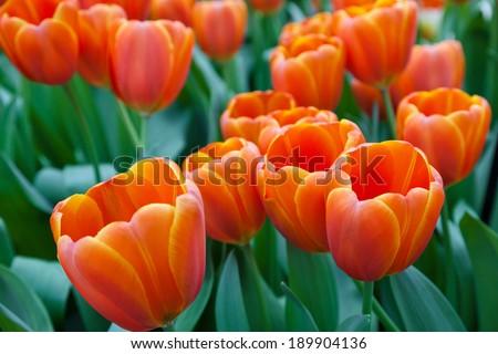 Tulips in Keukenhof Garden, Lisse, Netherlands - stock photo