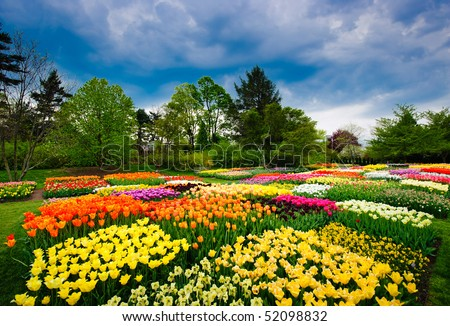 Tulips in Longwood Gardens - stock photo