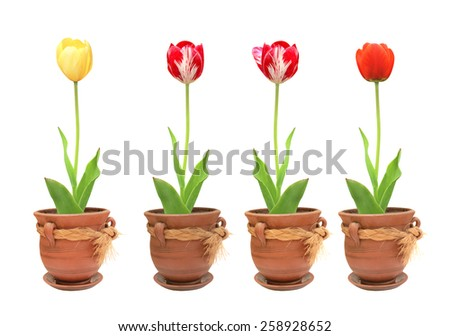 Tulips in pots. Objects isolated on white background - stock photo