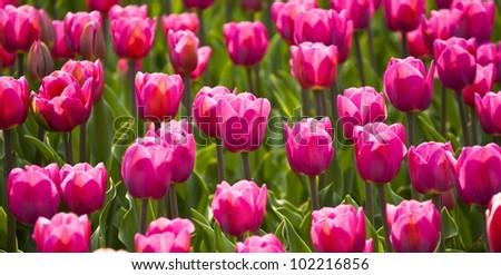 tulips in spring sun - stock photo