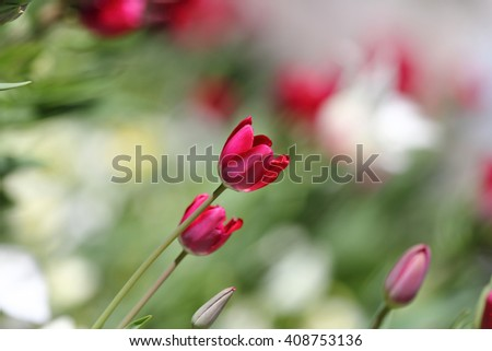 tulips in spring with beautiful bokeh. local focus
