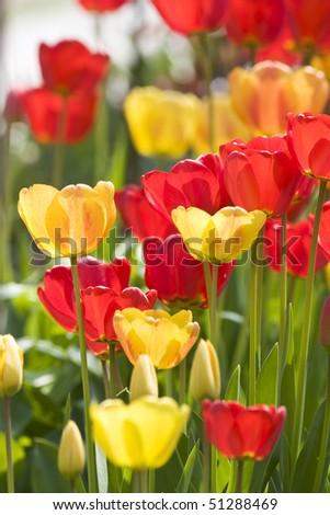 tulips in springtime - stock photo