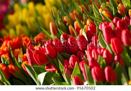 tulips in sunlight - stock photo