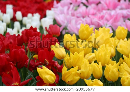 Tulips in the Netherlands (Holland). Tulips from Amsterdam concept. - stock photo
