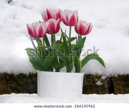 tulips in the snow - stock photo