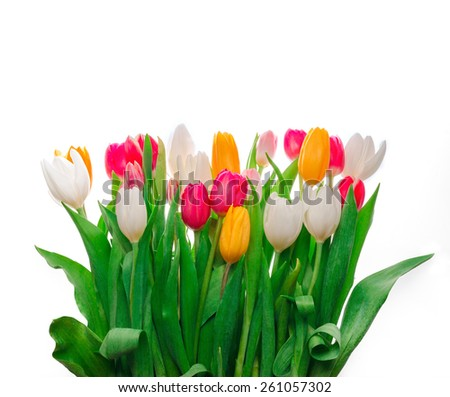 Tulips, isolated on white - stock photo