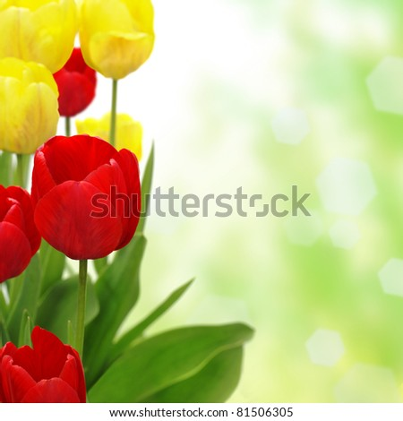 Tulips isolated on white background, red tulips, yellow tulip