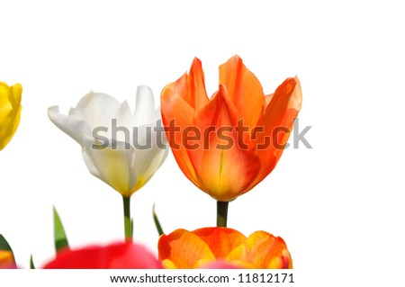 Tulips of different colors isolated on white