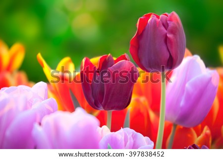 Tulips of multi-colored flowers in a spring sunny greenhouse - stock photo
