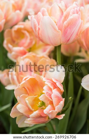 Tulips of salmon color on a bed in park - stock photo