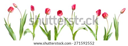 tulips on a white background - stock photo