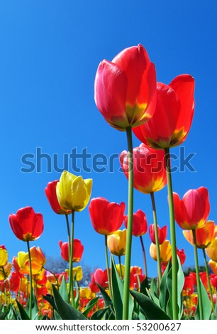 Tulips on sky background. Composition of nature
