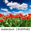 Tulips on the field and cloudy sky. Beautiful landscape - stock photo