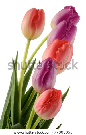 Tulips on white background. Tulipa - stock photo
