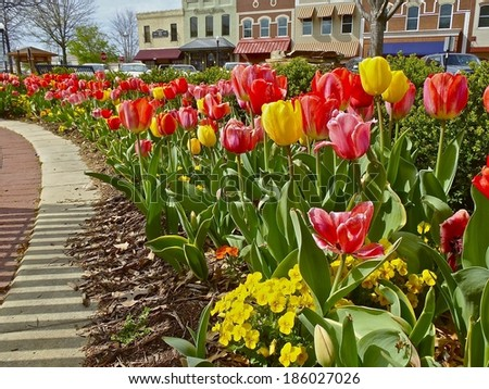 Tulips planted on square at Bentonville Ark./Square Tulips/Welcoming the spring sun.