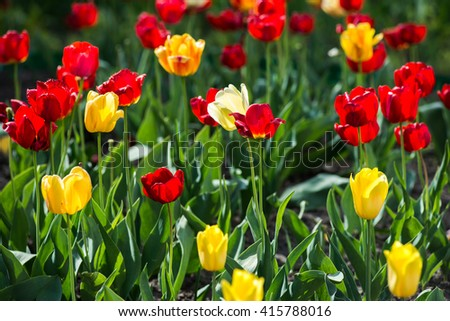 Tulips. Red and yellow tulips. Charming bouquet of fresh flowers. - stock photo