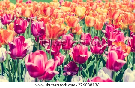 Tulips. Sea of colorful tulips in spring. - stock photo