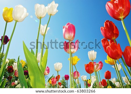 Tulips shot from below against blue sky. Wide angle lens used. - stock photo