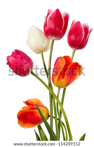 Tulips. Six flowers isolated on white - stock photo