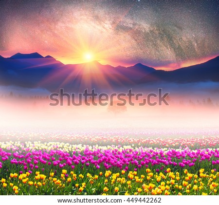 Tulips under the stars in the fabulous mountains. Against the background of blue tops and peaks beautiful delicate flowers with a wonderful aroma and smell after a rain misty fog over the valley - stock photo