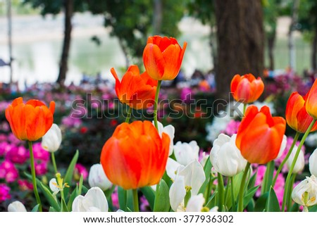 Tulips with beautiful bouquet background. Tulip. Beautiful bouquet of tulips. colorful tulips. tulips in spring,colourful tulip with blurred background  - stock photo