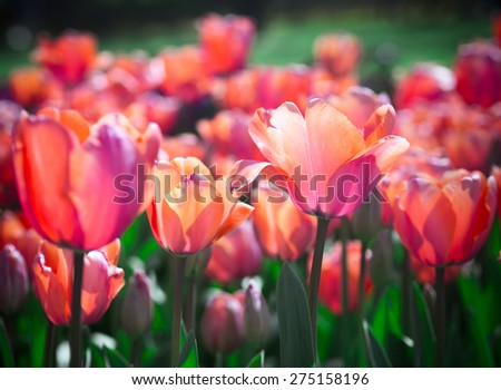 Tulips with soft focus in the garden.  Red tulips closeup with bokeh effect. Spring flowers blossom. - stock photo
