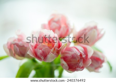 Tulips with water drops, high key